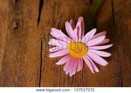 Colored camomile on wooden table. Beautiful flowers.
