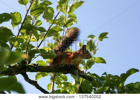 Squirrel sitting on a leafy branch with a blue sky background