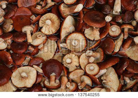 Blanching milkcap mushrooms (Lactarius rufus) in water