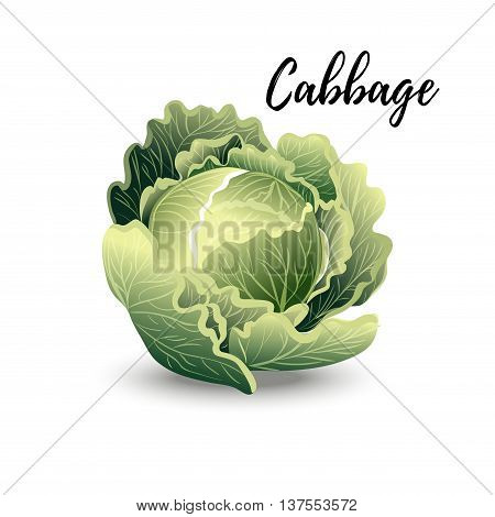 Isolated Cabbage vector isolated on white background