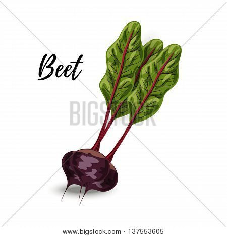 Vegetable fresh beet with green leaves vector isolated on white