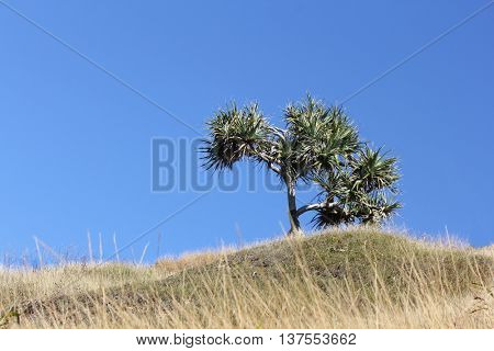 Single Pandanus Tree on hill with Blue SKy