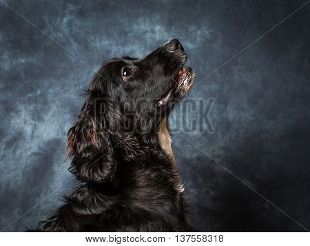 The 6 month Old Cocker Spaniel Puppy