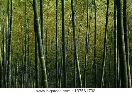 Bamboo Forest Nature Green Bamboo Shoot Concept