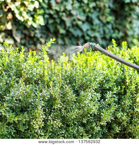 Treatment Of Boxwood Bushes By Pesticide