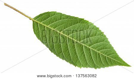 Back Side Of Green Leaf Of Sour Cherry Tree
