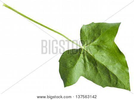 Back Side Of Green Leaf Of Hedera (ivy) Plant