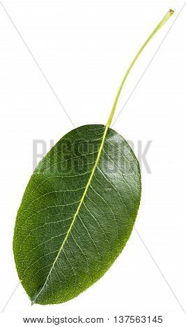 Green Leaf Of Pear Tree Isolated