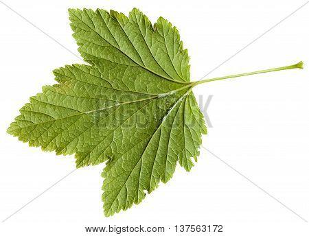 Back Side Of Green Leaf Blackcurrant Plant