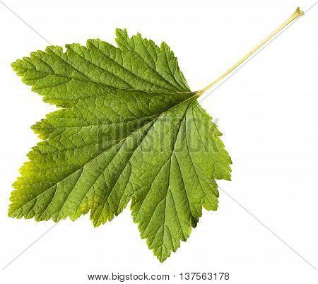 Green Leaf Of Blackcurrant Plant (ribes Nigrum)