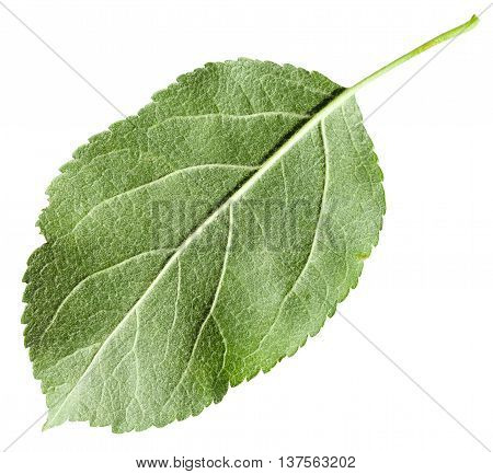 Back Side Of Green Leaf Apple Tree Isolated