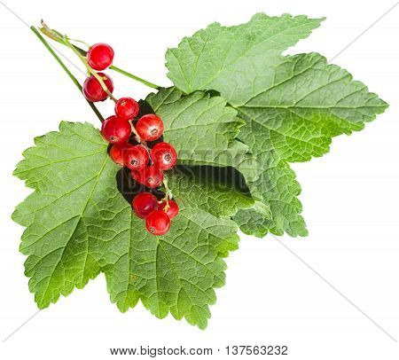 Red Berries And Green Leaves Of Redcurrant