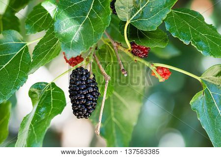Black And Red Berries On Mulberry Tree