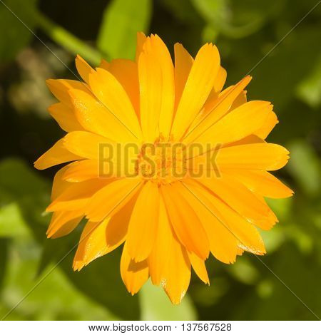 Common or Pot Marigold Calendula officinalis flower macro with soft edges selective focus shallow DOF
