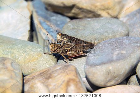 Two grasshopper mating in the grey stones