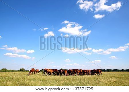 Thoroughbred gidran foals and mares grazing peaceful together on summer meadow against blue sky background