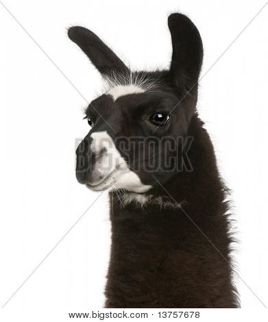 Llama, Lama glama, in front of white background