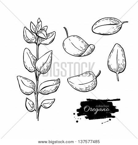 Oregano set vector drawing. Isolated Oregano plant with leaves. Herbal engraved style illustration. Detailed organic product sketch. Cooking spicy ingredient