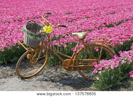 yellow bicycle with a basket in a pink tulip field