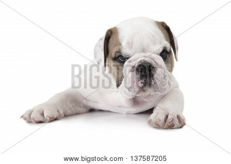 Purebred English Bulldog puppy lying on white background and looking at the camera