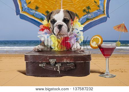 English Bulldog puppy with travel bag sits on the ocean shore under beach umbrella. Theme travel