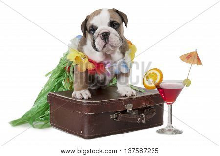 English Bulldog puppy with travel bag isolated on white background. Theme travel