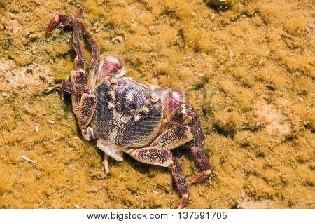Pinkish purple injured crab in the Murchison River's clear waters with algae in Kalbarri, Western Australia.