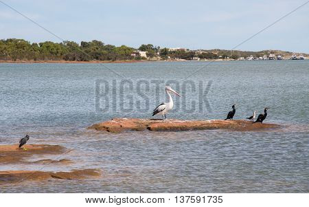 Coastal wildlife including a large pelican, cormorants and pacific reef heron on the red sandstone formations in the Murchison River with coastal vegetation in Kalbarri, Western Australia.