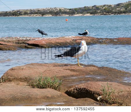 Coastal pacific gull, pacific reef heron and pied cormorant on the red sandstone formations in the Murchison River in Kalbarri, Western Australia.