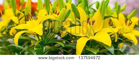 Vibrant colorful holiday or birthday background with yellow lily flower decoration panorama macro close up