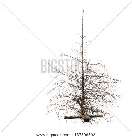 Dead Dry Christmas Pine Tree with broken branches over white background