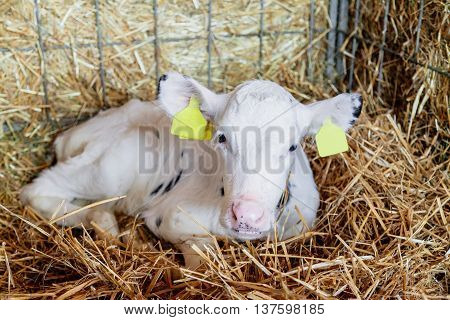 White Calf lying in the cage on the straw