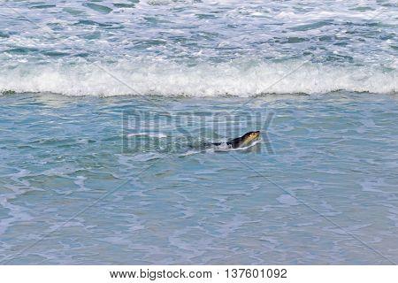 Australian Sea lion swimming at Seal Bay, Sea lion colony on south coast of Kangaroo Island, South Australia