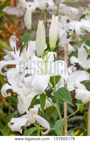 Close Up Of White Lily Flower