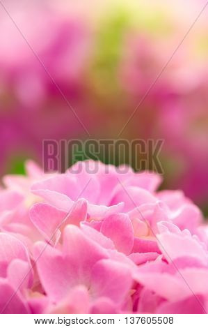 Beautiful pink hydrangea flowers with copy space as a background