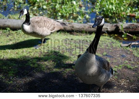Canada goose in black and white color - branta canadensis