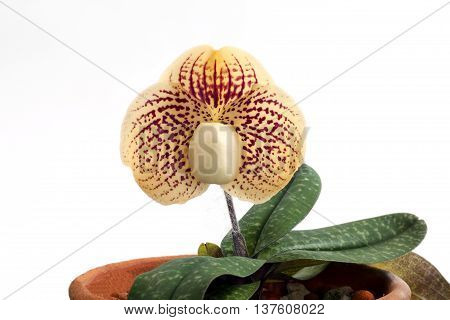 Paphiopedilum godefroyae is a species of orchid endemic to peninsular Thailand Vietnam and Malaysia.paphiopedilum Orchids