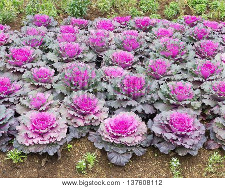 Fresh Cabbage (brassica Oleracea) Plant Leaves