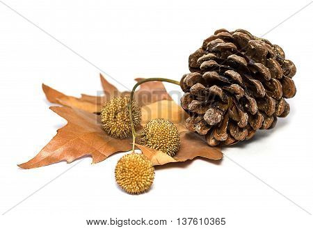 The pinecone isolated on the white background