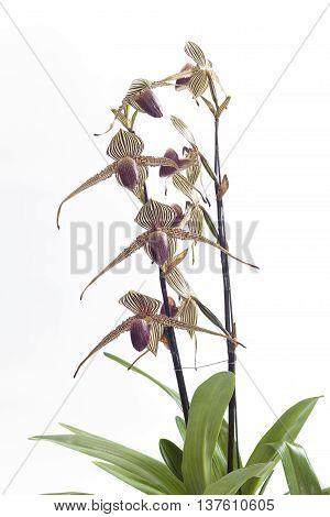 The paphiopedilum  rothschildianum cultural requirements orchids flower.