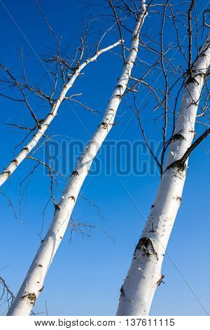 birch trees trunk on blue sky