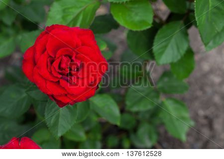 One Big Red Rose In Garden, Top View, Copyspace