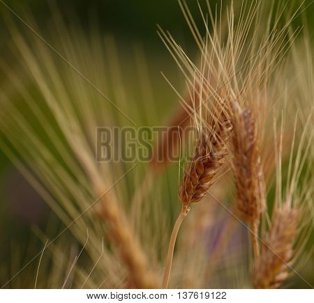 Wheat spike with foreground and background out of focus, early summer