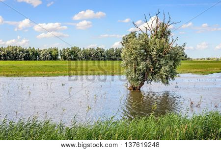 Odd willow tree with partly bare branches alone in the water of a flooded polder area in the Netherlands in the summer season.