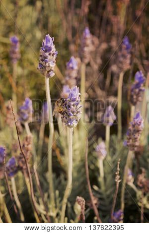 Nature Scene Of Bee On Lavender Flower Field