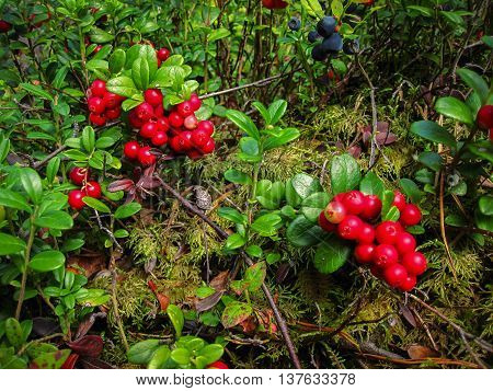 Ripe red cowberry grows in pine forest.