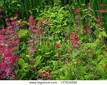 wetland garden in spring with candelabra primrose