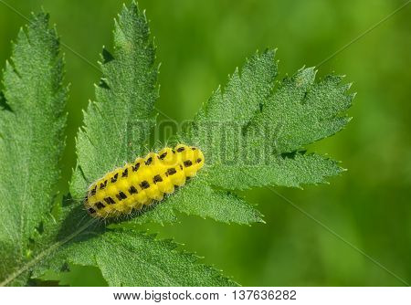 Lemon orange caterpillar with black spots is ready to gobble all the leaf