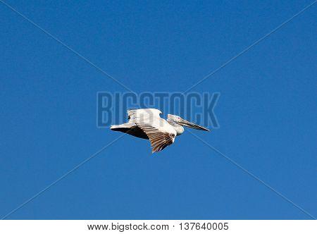 Picture of a Dalmatian PelicanPelecanus crispus in flight.