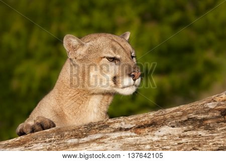 Cougar Peering over a Log with natural green background